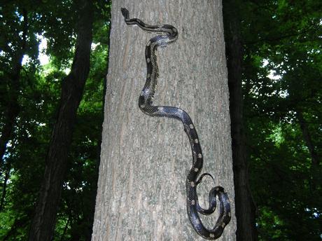 Illinois rattle snake