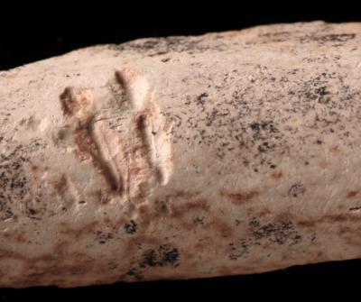 Mammalian tooth marks on dinosaur