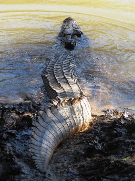 estuarine crocodile - 2