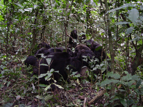 Chimpanzees attack for land