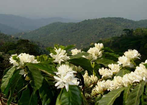 Coffee, Chiapas