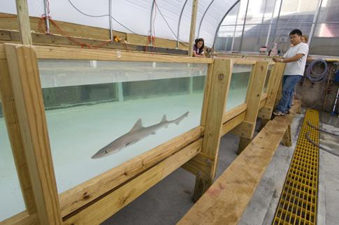 Dogfish Shark (Mustelus canis)