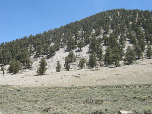 """A grove of Bristlecones has kept a silent vigil atop Nevada's desolate Wheeler Peak for millennia. """"The idea of a single individual surviving for 5,000 years rooted in place is truly remarkable and I think strikes awe in most of us,"""" said UA dendrochronologist Chris Baisan, who first established the age of Prometheus, the oldest known tree. (Image by: Rex Adams/LTRR)"""
