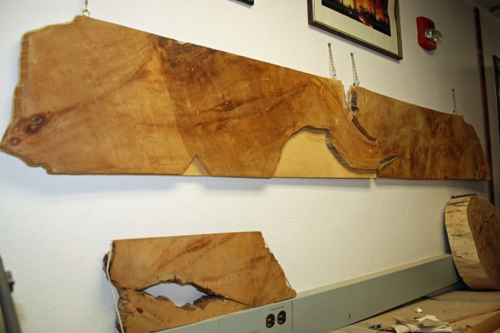 The 7-foot radius of Prometheus, the oldest individual organism ever known, adorns the wall of the UA Laboratory of Tree-Ring Research. (Image by: Beatriz Verdugo/UANews)