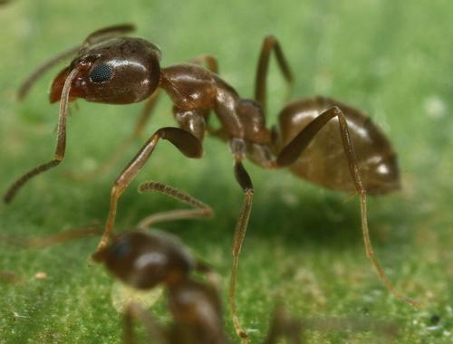 Argentine ant. Photo credit: Benoit Guenard