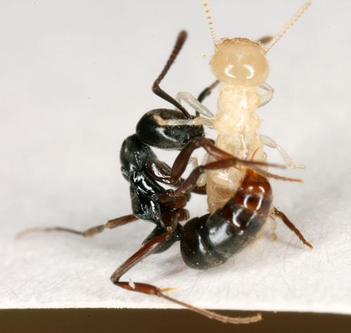 Asian needle ant stinging a termite. Photo credit: Benoit Guenard