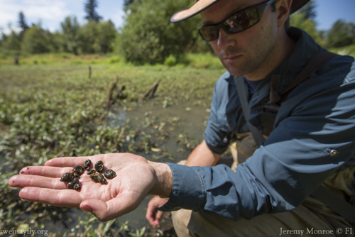 Biologist Piet Johnson collects snails for parasite testing. Image credit: Dave Herasimtschuk/Freshwaters Illustrated