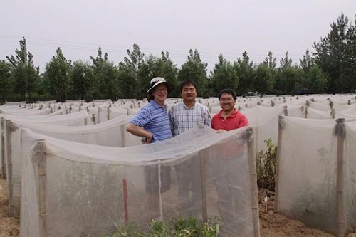 Bruce Tabashnik (left), Kongming Wu (middle) and Xianchun Li (right) check field experiments at the Lang Fang Experiment Station of the Chinese Academy of Agricultural Sciences. (Photo by Hongsheng Pan, Chinese Academy of Agricultural Sciences)