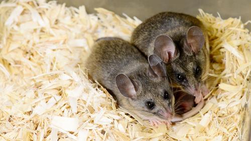 California mice, Peromyscus californicus, in Rosenfeld's lab. Image credit: Roger Meissen, Bond Life Sciences Center.