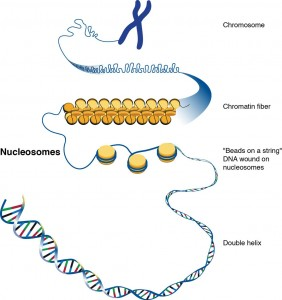 A younger cell's game. Cells control harmful transposons in DNA by wrapping them tightly around nucleosomes and packing them into chromatin fibers. The ability to maintain control of harmful transposons diminishes as cells age. Image Credit: Darryl Leja/National Human Genome Research Institute (Click image to enlarge)