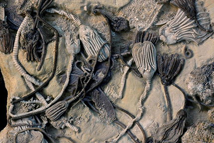 Different species of the sea animals known as crinoids display different colors in these 350-million-year-old fossils. Ohio State University researchers have found organic compouds sealed within the pores of these fossilized animals' skeletons. Photo by William Ausich, courtesy of Ohio State University.