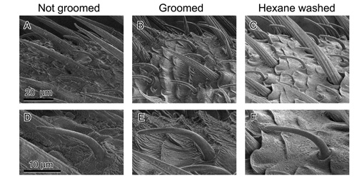 Electron microscopy images show ungroomed, groomed and cleansed roach antennae (A-C). Also shown are tiny, pheromone-sensitive sensilla on the antennae (D-F). Image credit: North Carolina State University