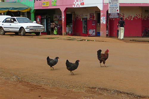 UD's Carl Schmidt visited Uganda to study the genetic makeup of African chickens. Photo provided by Carl Schmidt