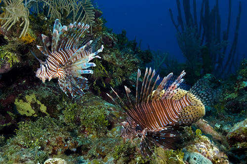 Two lionfish near Little Cayman Island, where a new study abroad program in marine science is being offered. Photo courtesy of Neil van Niekerk