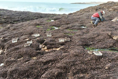"""Mussel beds in Patagonia. Hundreds of studies over two decades from sites around the world suggest that the Stress Gradient Hypothesis can be employed as a rule of thumb. """"We're no longer in the casual, earlier stages of ecology,"""" says biologist Mark Bertness. Image credit: Bertness lab/Brown University"""