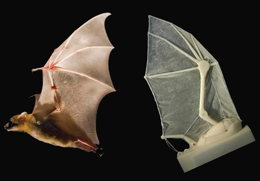 Wing of bat in life and lab. A robotic bat wing lets researchers measure forces, joint movements, and flight parameters — and learn more about how the real thing operates in nature. Image credit: Breuer and Swartz labs/Brown University