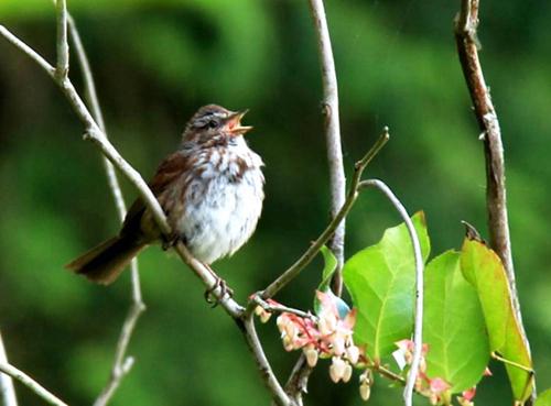 Song sparrow singing in his territory.  Image credit: Çağlar Akçay, UW