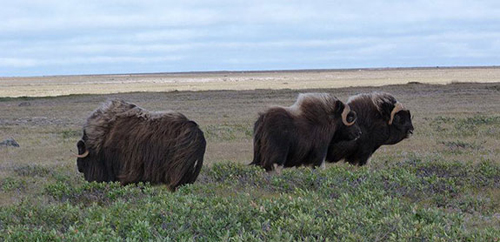 What affects the parasite affects the host. The researchers will broaden their model to better understand what toll a boost in parasite population could have on hosts such as muskoxen herds (above). A nematode with a penchant for the lungs of muskoxen recently expanded its range in the Arctic. (Photo by Susan Kutz)