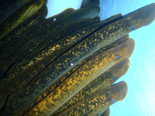 A team of scientists has presented an assembly of the sea lamprey genome – the first time the entire sequence has been decoded. Image courtesy of MSU.