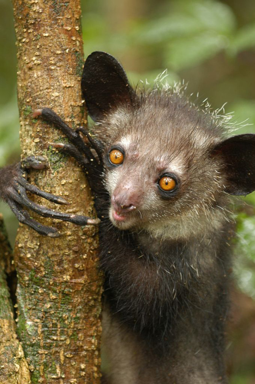The aye-aye--a type of lemur--extracts insects from trees, filling the niche of a woodpecker. Image credit: Edward Louis, Omaha Zoo