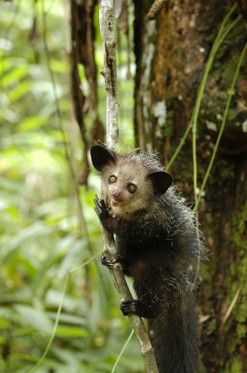 """Aye-ayes in northern Madagascar have """"genetic distance"""" from those in the east and west. Image credit: Edward Louis, Omaha Zoo"""