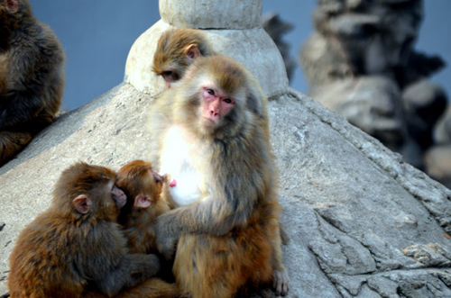 Anthropologists now believe the ancestor of all modern African monkeys was alive millions of years earlier than previously thought. Image credit: Peter Griffin