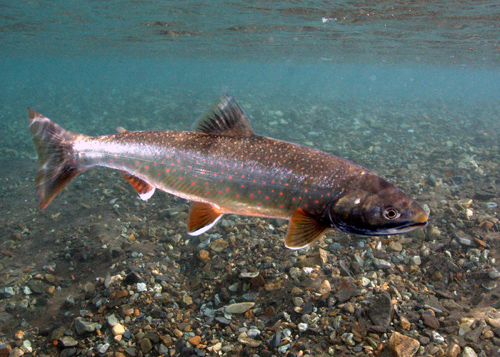 The color of Dolly Varden trout, this one a 16-inch (40-centimeter) adult, deepens when it's time to spawn. Image credit: M Bond/U of Washington