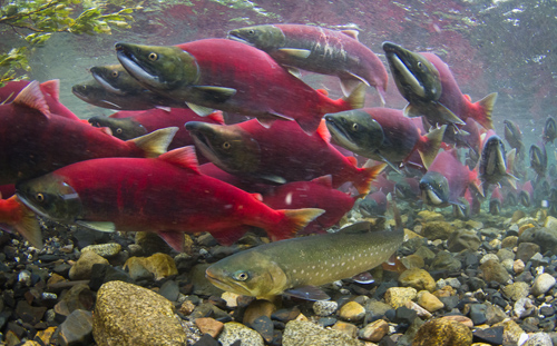 Brightly colored sockeye salmon surge by as a Dolly Varden waits its chance to binge on salmon eggs. Image credit: J Armstrong/U of Washington