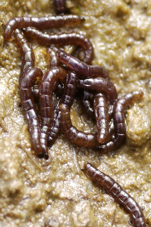 The larvae of Belgica antarctica, a flightless midge and Antarctica's only indigenous insect. Image credit: Photograph by Richard E. Lee, Jr., NSF