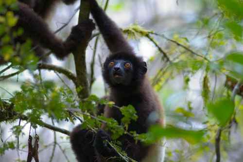 """Lemurs (Latin for """"ghost"""" or """"spirit"""") are primates that live only on the island of Madagascar. Most are highly endangered as their native forests succumb to an increasingly dry climate and logging. The species studied here, the Milne-Edwards' sifaka (Propithecus diadema), is estimated to have suffered a 50-percent population loss over the past three decades. (Image credit: Jukka Jernvall)"""