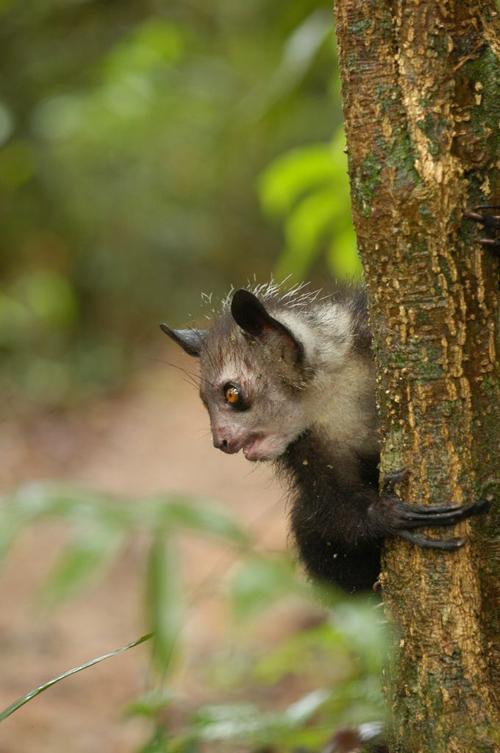 Genomes of three populations of aye-ayes were sequenced to help conserve the species. Image credit: Edward Louis, Omaha Zoo