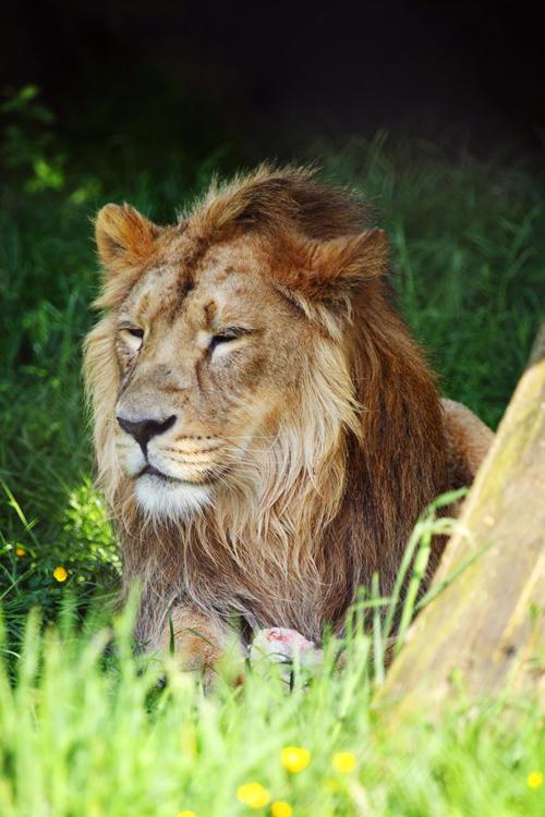 Male lion picture by Petr Kratochvil