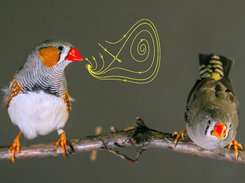 A new study of birds used a mathematical model to track how the brain controls the motor functions needed to produce a song. The research could lead to new ways of understanding human speech production. Photo by Daniel D. Baleckaitis
