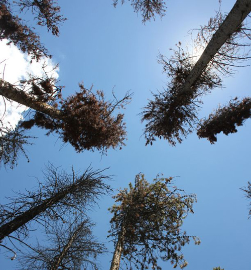 Looking up into pine trees infested with pine beetles. (Photo by: David Moore/UA School of Natural Resources and the Environment)