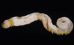 Undescribed species of a modern enteropneust (ptychoderid) worm. Proboscis to the left. Total length of a relaxed and uncoiled animal is approximately 88 mm. Photo by: C.B. Cameron, Université de Montréal.