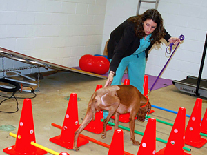 Gauge, who suffered multiple pelvic fractures in a five-story fall, in rehab with canine rehabilitation practitioner Kim Colvard. Image credit: University of Minnesota