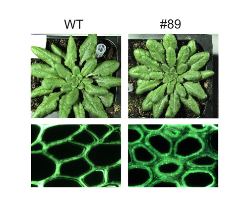 Genetically engineered Arabidopsis plants (#89) yielded as much biomass as wild types (WT) but with enhanced polysaccharide deposition in the fibers of their cell walls. (Image courtesy of JBEI)