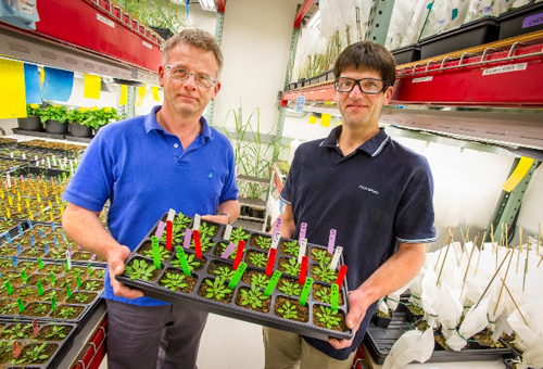 JBEI's Henrik Scheller (left) and Dominque Loque, shown here with Arabidopsis plants, are engineering plant cell walls to make the sugars within more accessible. (Photo by Roy Kaltschmidt, Berkeley Lab)
