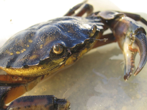 Conquering hero. Just the sight of Carcinus maenas, the invasive green crab, sends marsh grass-eating Sesarma reticulatum crabs running for their lives. The marshes and their grasses slowly recover. Image credit: Catherine Matassa/Northeastern University