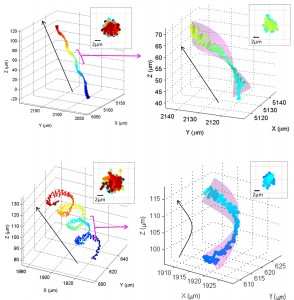 Chiral Ribbon Patterns. Trajectory of horse sperm, which move in 3-D chiral ribbon patterns. A new study by UCLA Engineering researchers discovered previously unseen patterns in sperm motility, opening the door to better understanding of the biophysics of fertility. (Image courtesy of UCLA Engineering and Scientific Reports) (Click image to enlarge)