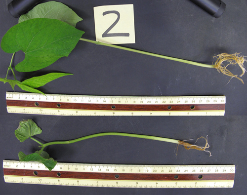 A bean plant treated with hydrogen sulfide (top) is substantially bigger at two weeks after gestation than the control plant (bottom) that was untreated. Image credit: Frederick Dooley