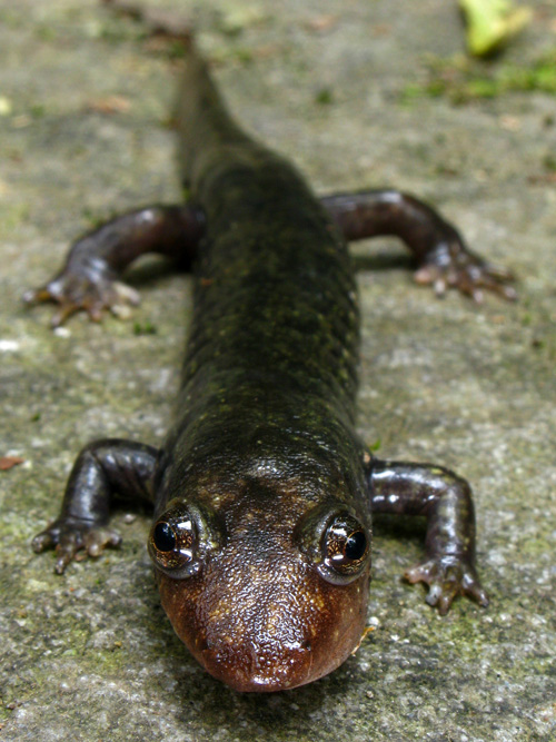 This black-bellied salamander (Desmognathus quadramaculatus) was found in the Citico Creek Wilderness, Cherokee National Forest, Tennessee. Location: Monroe County, TN, USA. Image credit: Alan Cressler, USGS