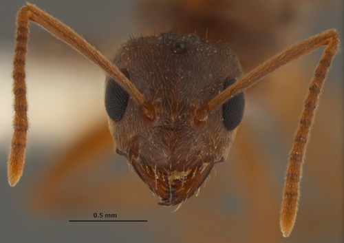 """In 2012 the species was formally identified asNylanderia fulva, which is native to northern Argentina and southern Brazil. Frequently referred to as Rasberry crazy ants, these ants recently have been given the official common name """"Tawny crazy ants."""" Image credit: Image courtesy of Joe MacGown, Mississippi Entomological Museum"""