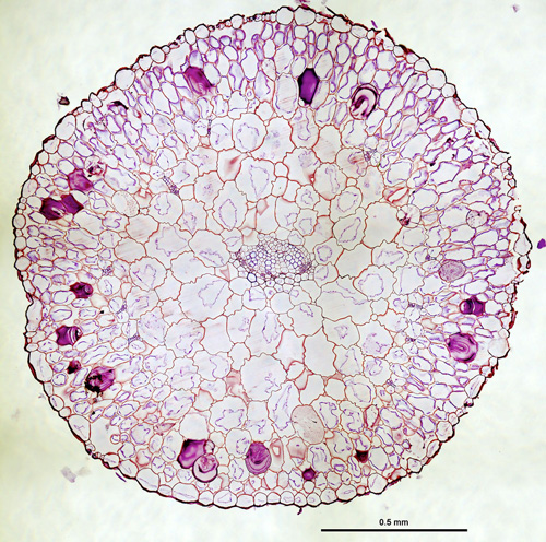 Ring of veins. Veins, internal to the dark purple-stained mucilage deposits of this cross-section of a succulent Phemeranthus teretifolius leaf, are arranged in a ring shape that reduces the distance between veins and photosynthetic cells. Image credit: Matt Ogburn