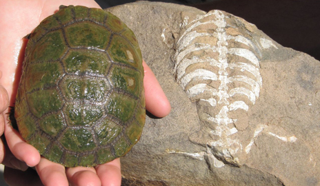 New research by Tyler Lyson of Yale University and the Smithsonian introduces a new proto-turtle and sheds new light on how the turtle got its shell. Image credit: Yale University
