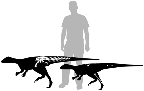 Figure 2. Skeletal outlines illustrating both the relative size and completeness of two of the small ornithopod specimens described in the paper. Bones indicated in white are present. Human (in grey) for scale. Illustration by C. Brown.