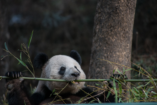 Pandas are difficult to distract when they're focused on their favorite activity. Photo by Kurt Stepnitz