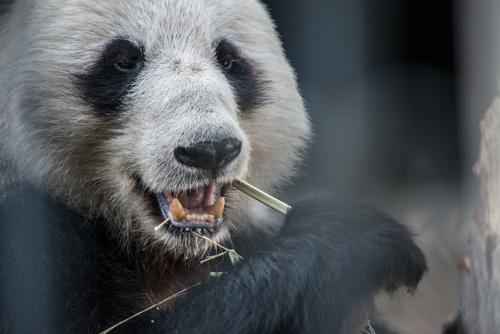A panda munches away on bamboo. Photo by Kurt Stepnitz