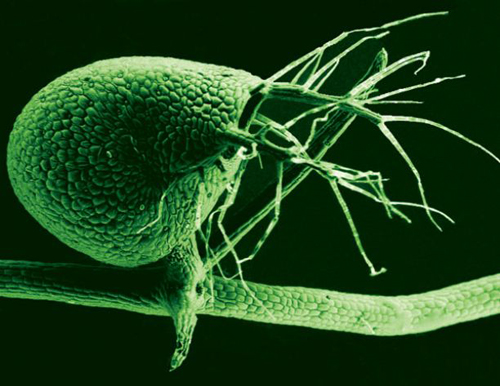 A scanning electron microscope image shows the tiny, 1-millimeter-long bladders used to catch small organisms by Utricularia gibba, the humped bladderwort plant (color added). The submerged growing plant is a voracious carnivore, with its bladders leveraging vacuum pressure to suck in tiny prey at great speed. (Photo by: Enrique Ibarra-Laclette and Claudia Anahí Pérez-Torres)