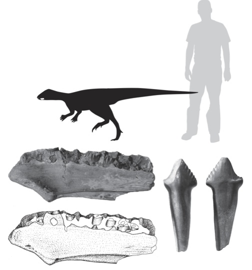Figure 3. Photograph and interpretive drawing of the lower jaw, as well as a complete tooth, of one of the small ornithopods described in the study. Human (in grey) for scale. Illustration by C. Brown.